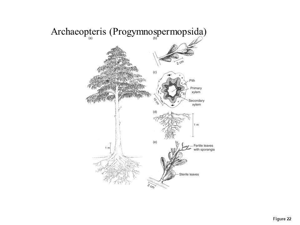 Archaeopteris (Progymnospermopsida)