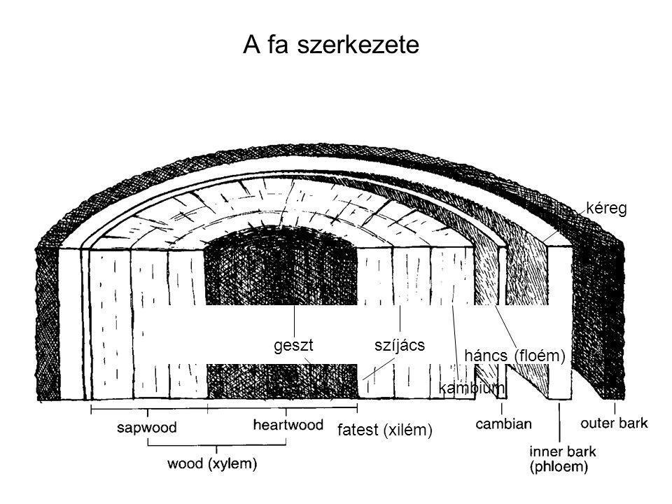 A fa szerkezete kéreg geszt szíjács háncs (floém) kambium
