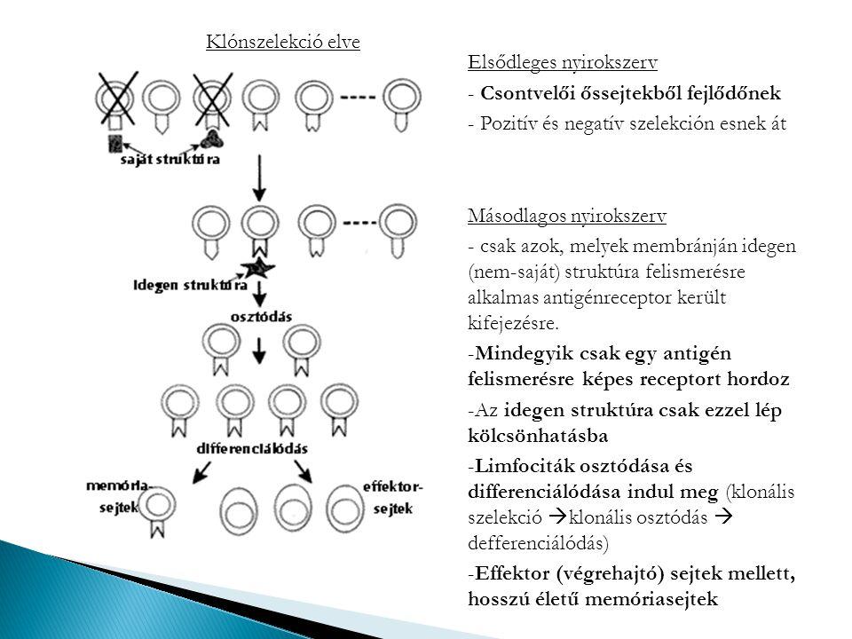 Klónszelekció elve Elsődleges nyirokszerv. Csontvelői őssejtekből fejlődőnek. Pozitív és negatív szelekción esnek át.