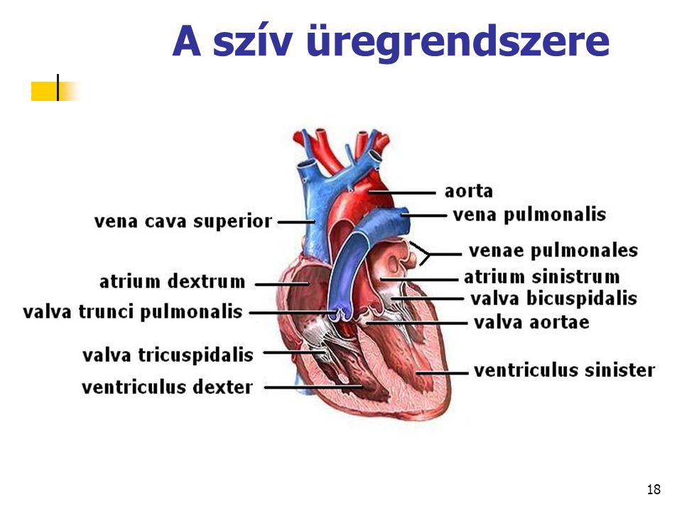 A szív üregrendszere 18