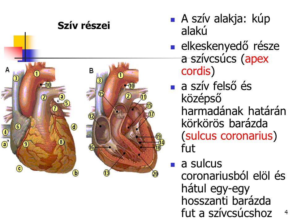 A szív alakja: kúp alakú elkeskenyedő része a szívcsúcs (apex cordis)
