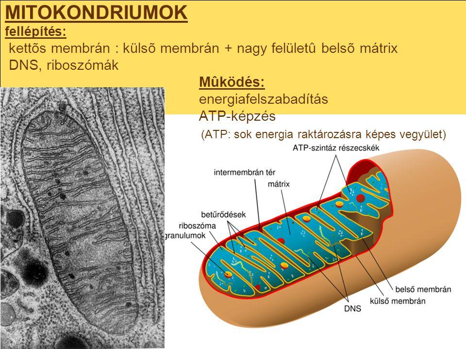 MITOKONDRIUMOK fellépítés: kettõs membrán : külsõ membrán + nagy felületû belsõ mátrix DNS, riboszómák Mûködés: energiafelszabadítás ATP-képzés (ATP: sok energia raktározásra képes vegyület)