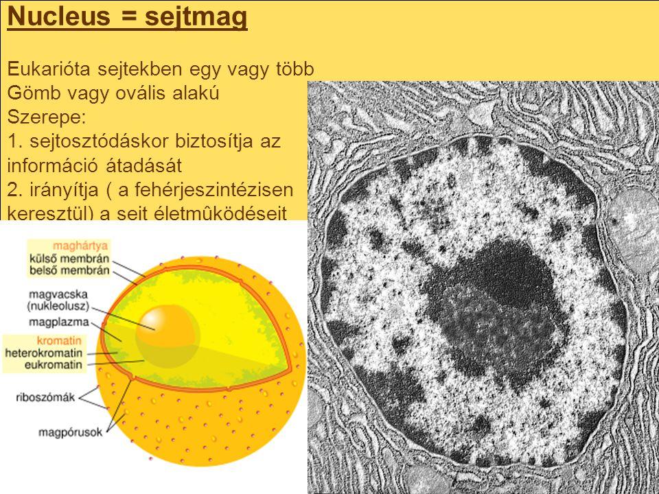 Nucleus = sejtmag Eukarióta sejtekben egy vagy több Gömb vagy ovális alakú Szerepe: 1.