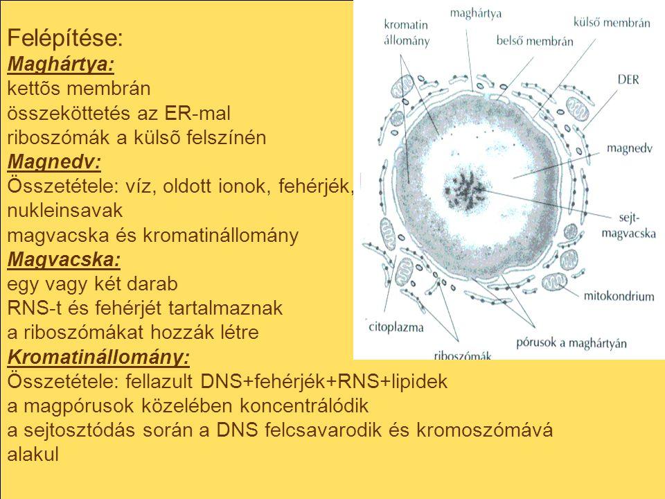 Felépítése: Maghártya: kettõs membrán összeköttetés az ER-mal