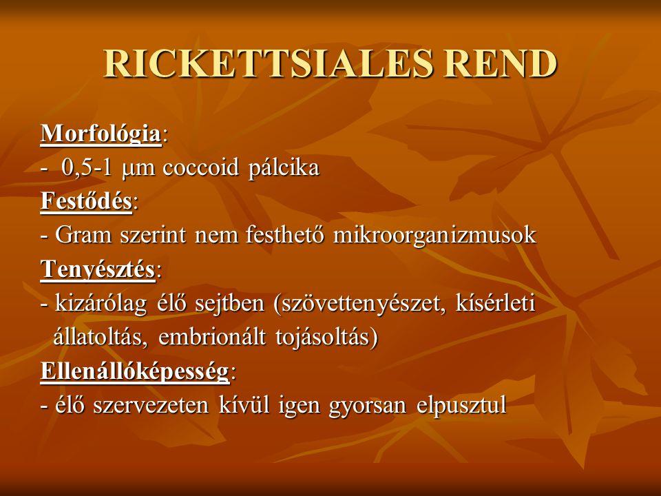 RICKETTSIALES REND Morfológia: - 0,5-1 m coccoid pálcika Festődés:
