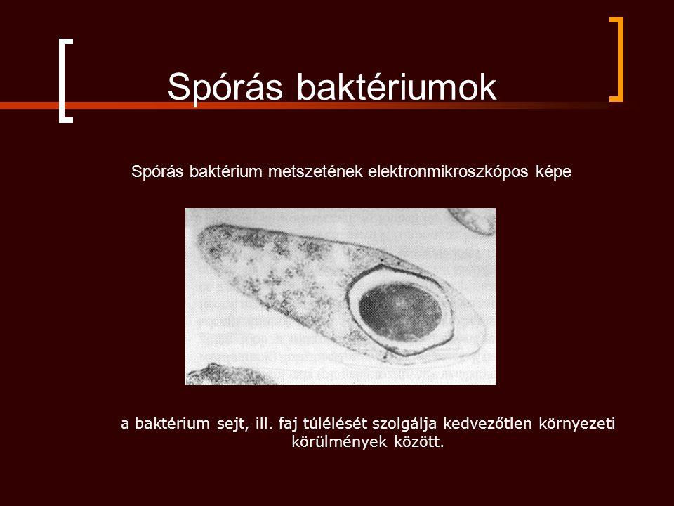 Spórás baktérium metszetének elektronmikroszkópos képe