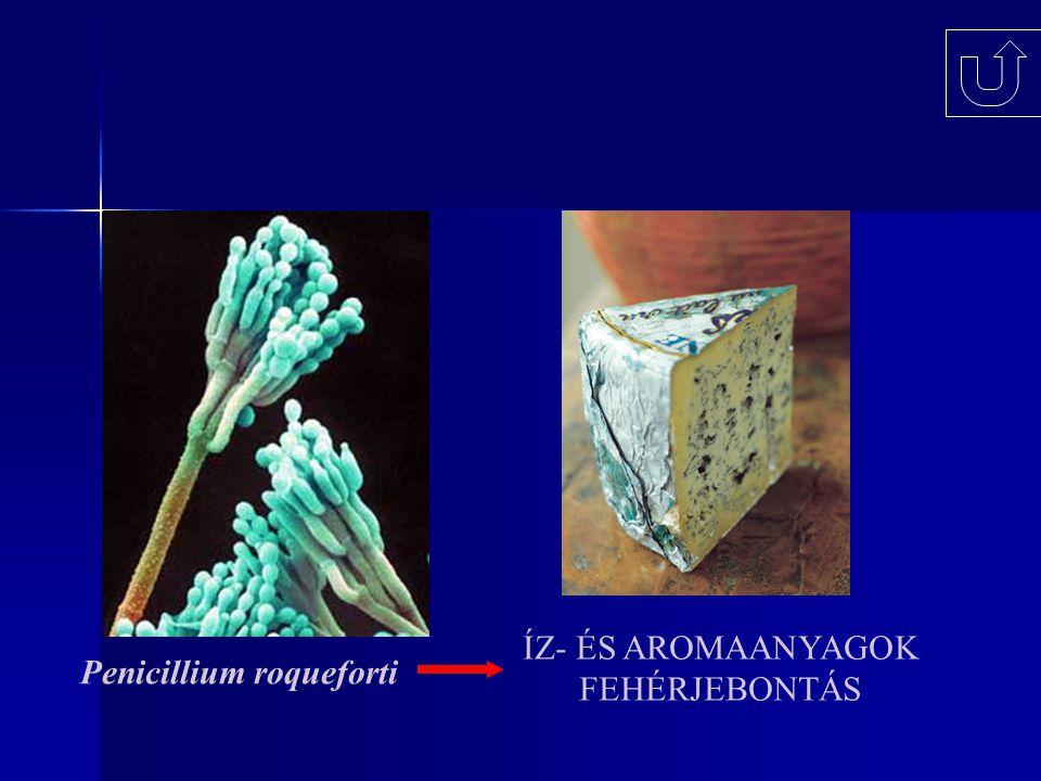 ÍZ- ÉS AROMAANYAGOK FEHÉRJEBONTÁS Penicillium roqueforti