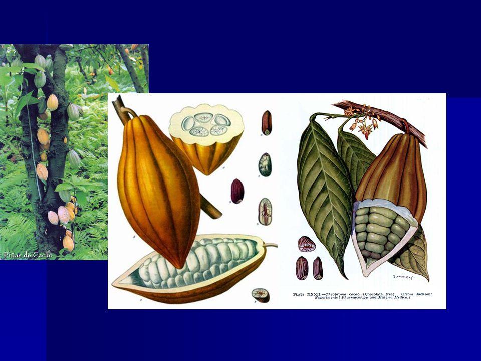 A csokoládé A csokoládét a dél-amerikai kakaófa, a Theobroma cacao magjából, a kakaóbabból készítik (a theobroma jelentése: istenek eledele ). A kis sárga magok húsos hüvelyben nõnek. A nyers kakaót elõször fermentálják, rothasztják , majd 140–150 oC-on pörkölik. A kakaóbab héja megbarnul, törékennyé válik. A magot megszabadítják ettõl a héjtól és addig õrlik, amíg folyékony masszát nem kapnak (az anyag a pörkölés és az õrlés miatt cseppfolyósodó zsírtól válik folyékonnyá). A masszát kisajtolják, végül elõáll a zsíros kakaóvaj és a kakaópor. Az étcsokoládé úgy készül, hogy a folyékony masszához cukrot és újabb kakaóvajat kevernek. A tejcsoki kakaómasszájához csak sûrített tejet adnak.