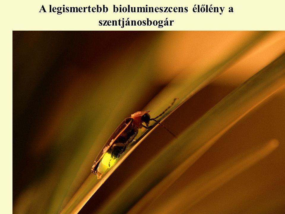 A legismertebb biolumineszcens élőlény a szentjánosbogár