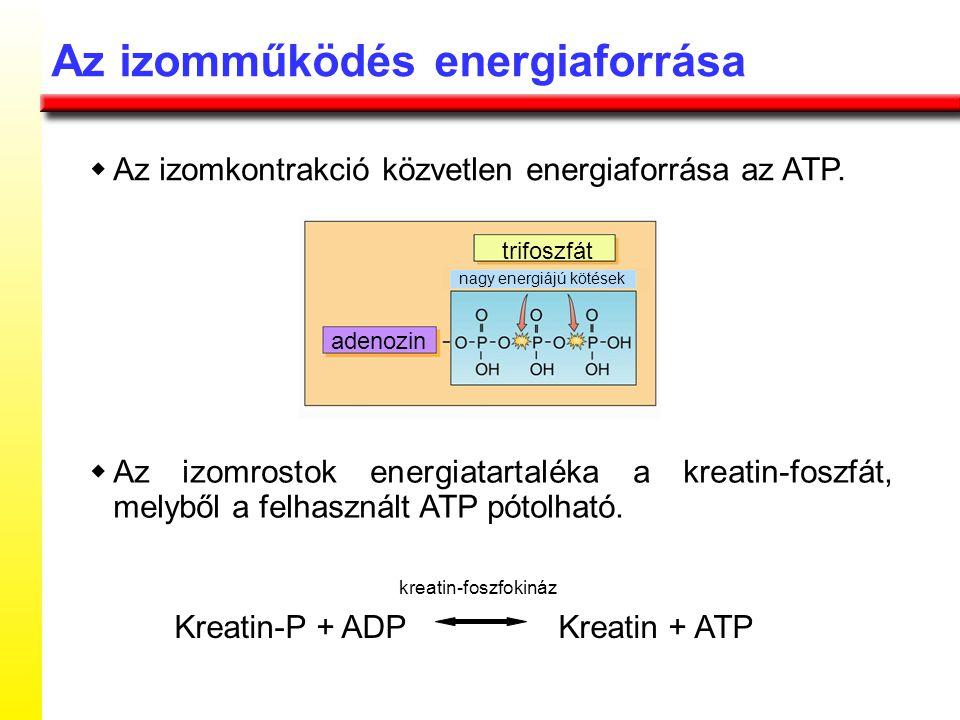 Kreatin-P + ADP Kreatin + ATP