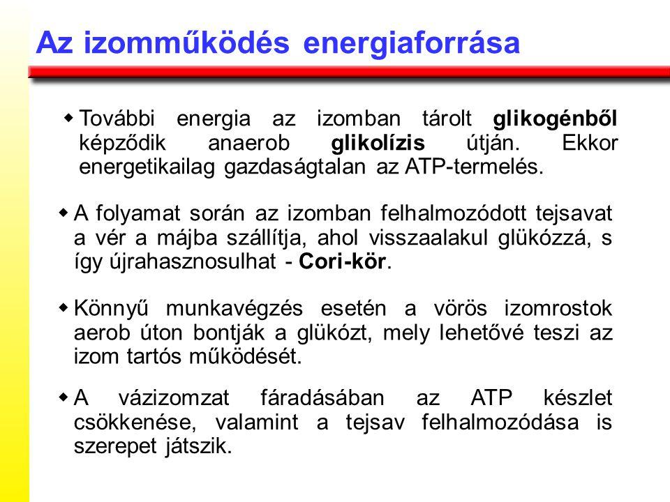 Az izomműködés energiaforrása