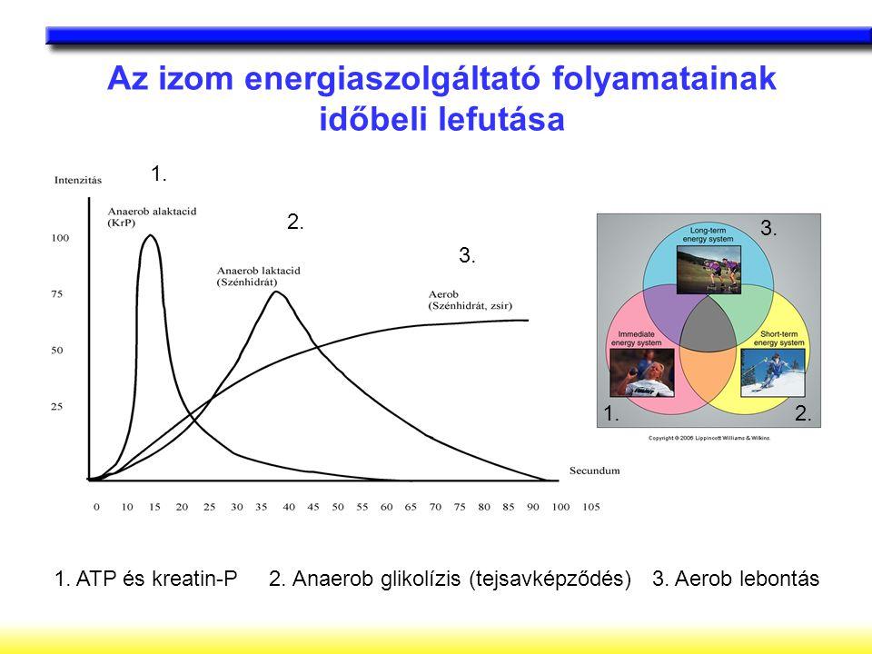 Az izom energiaszolgáltató folyamatainak időbeli lefutása