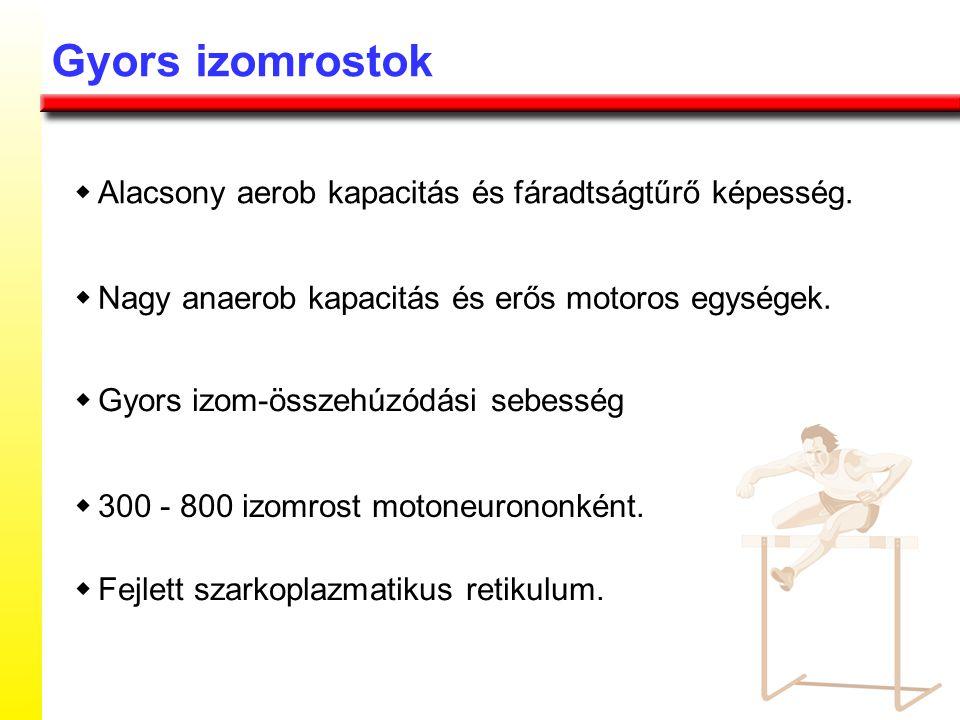 Gyors izomrostok w Alacsony aerob kapacitás és fáradtságtűrő képesség.