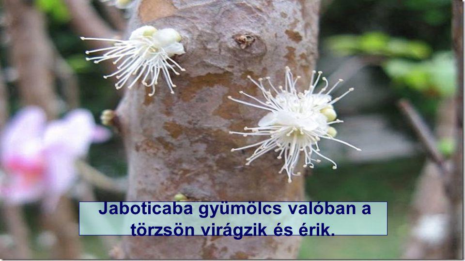 Jaboticaba gyümölcs valóban a törzsön virágzik és érik.