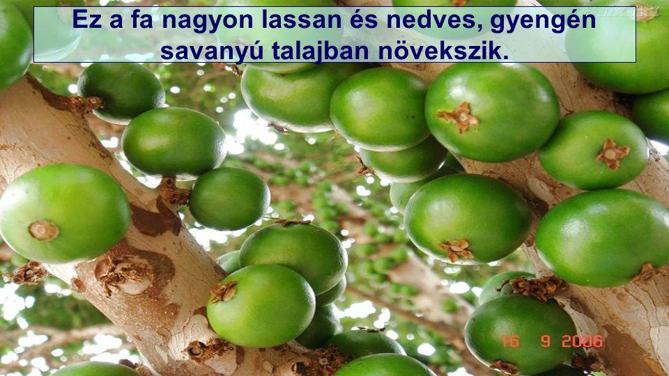 Ez a fa nagyon lassan és nedves, gyengén savanyú talajban növekszik.