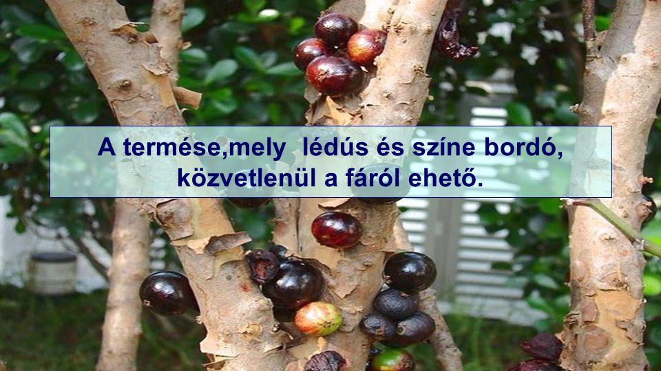 A termése,mely lédús és színe bordó, közvetlenül a fáról ehető.