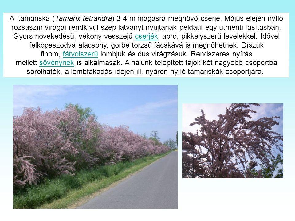 A tamariska (Tamarix tetrandra) 3-4 m magasra megnövő cserje