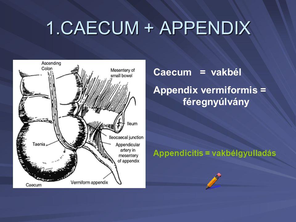 1.CAECUM + APPENDIX Caecum = vakbél