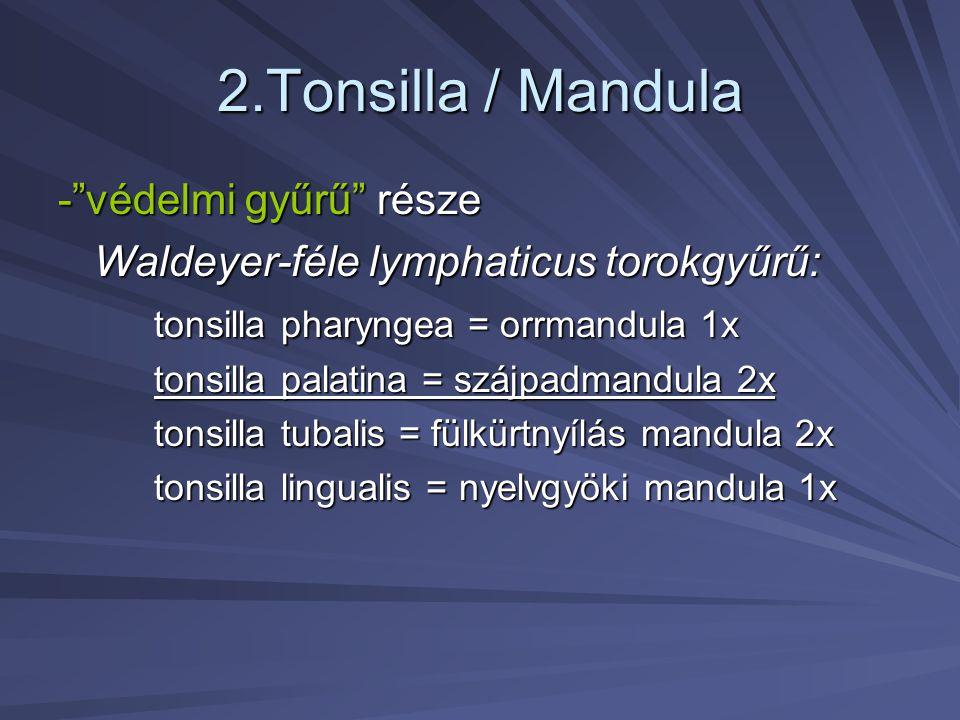 2.Tonsilla / Mandula - védelmi gyűrű része