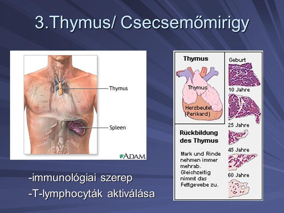 3.Thymus/ Csecsemőmirigy