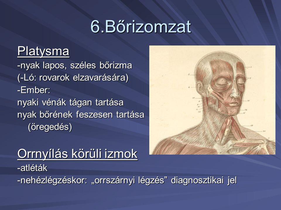 6.Bőrizomzat Platysma Orrnyílás körüli izmok