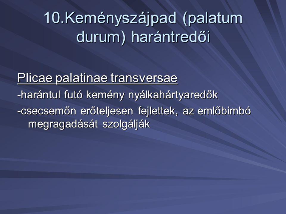 10.Keményszájpad (palatum durum) harántredői