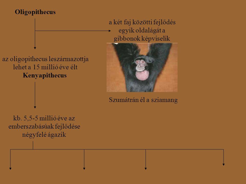 a két faj közötti fejlődés egyik oldalágát a gibbonok képviselik