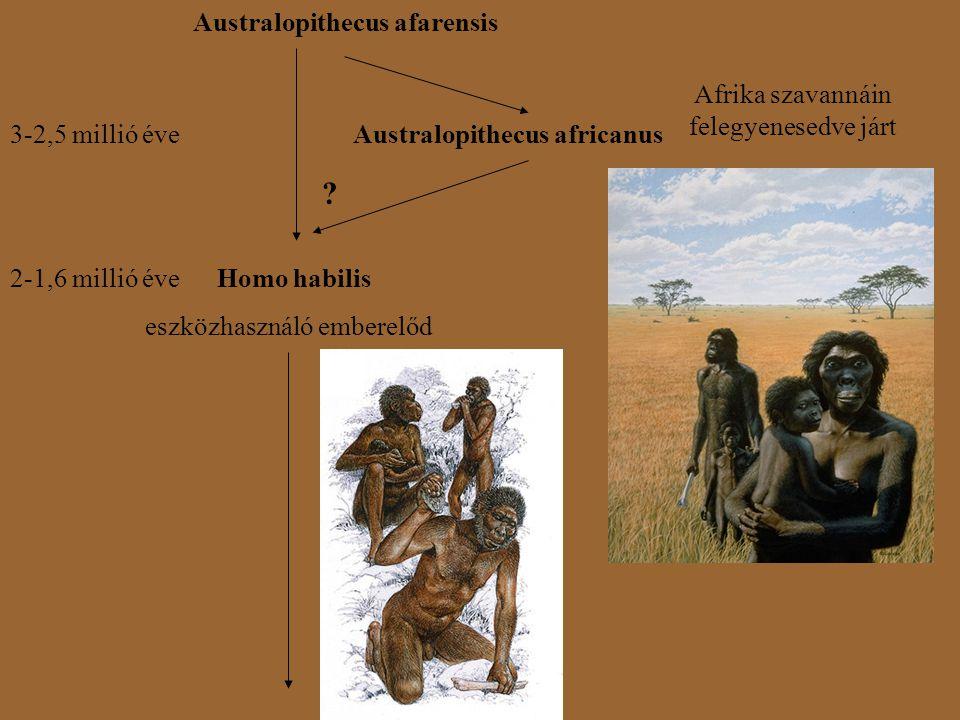 Australopithecus afarensis Australopithecus africanus