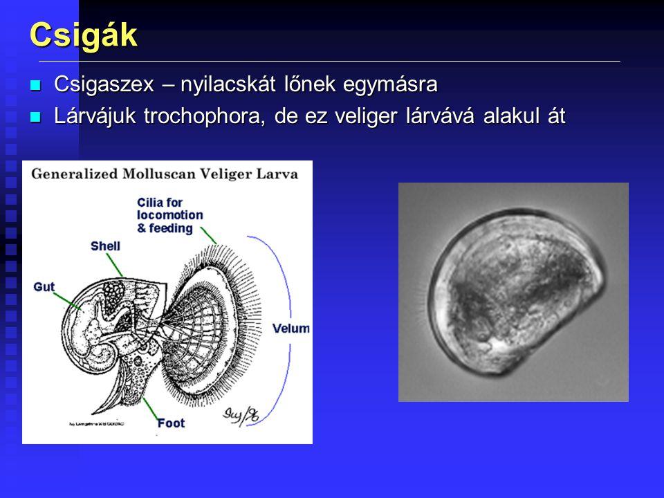 Csigák Csigaszex – nyilacskát lőnek egymásra