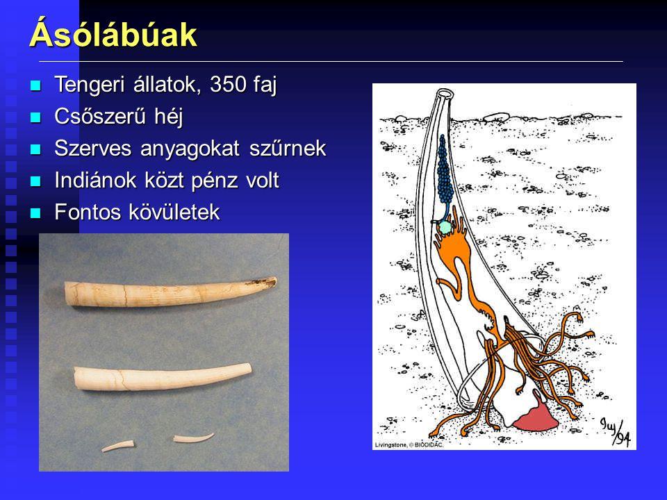 Ásólábúak Tengeri állatok, 350 faj Csőszerű héj