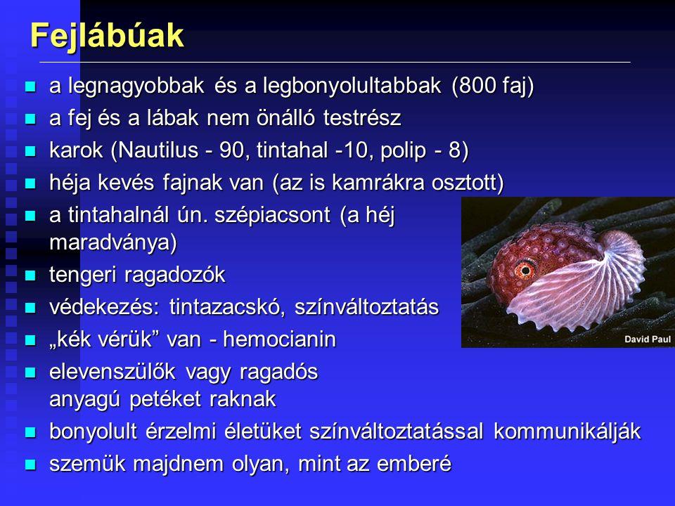 Fejlábúak a legnagyobbak és a legbonyolultabbak (800 faj)