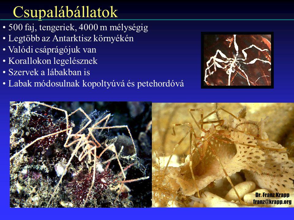 Csupalábállatok 500 faj, tengeriek, 4000 m mélységig