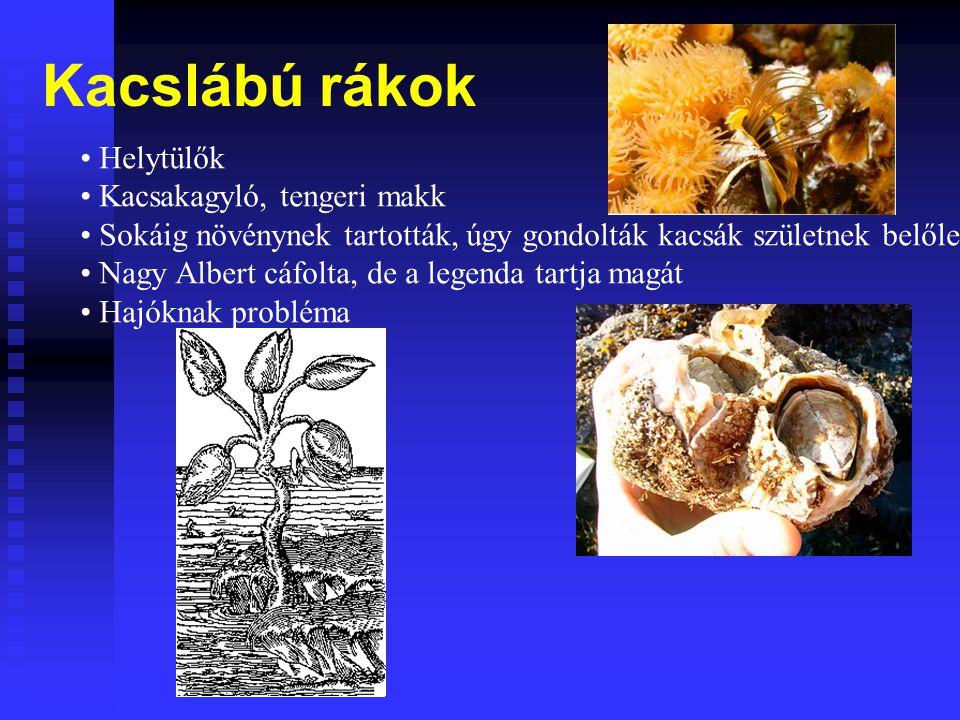 Kacslábú rákok Helytülők Kacsakagyló, tengeri makk
