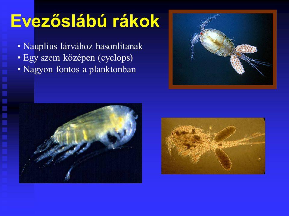 Evezőslábú rákok Nauplius lárvához hasonlítanak