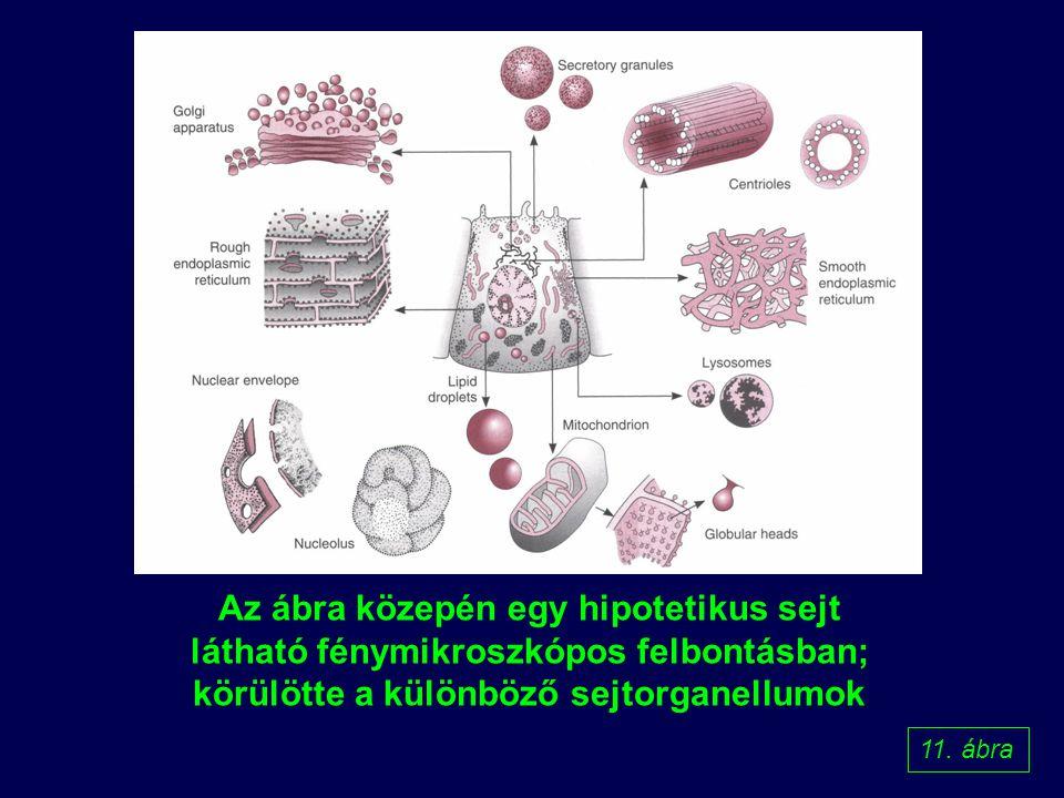 Az ábra közepén egy hipotetikus sejt látható fénymikroszkópos felbontásban; körülötte a különböző sejtorganellumok