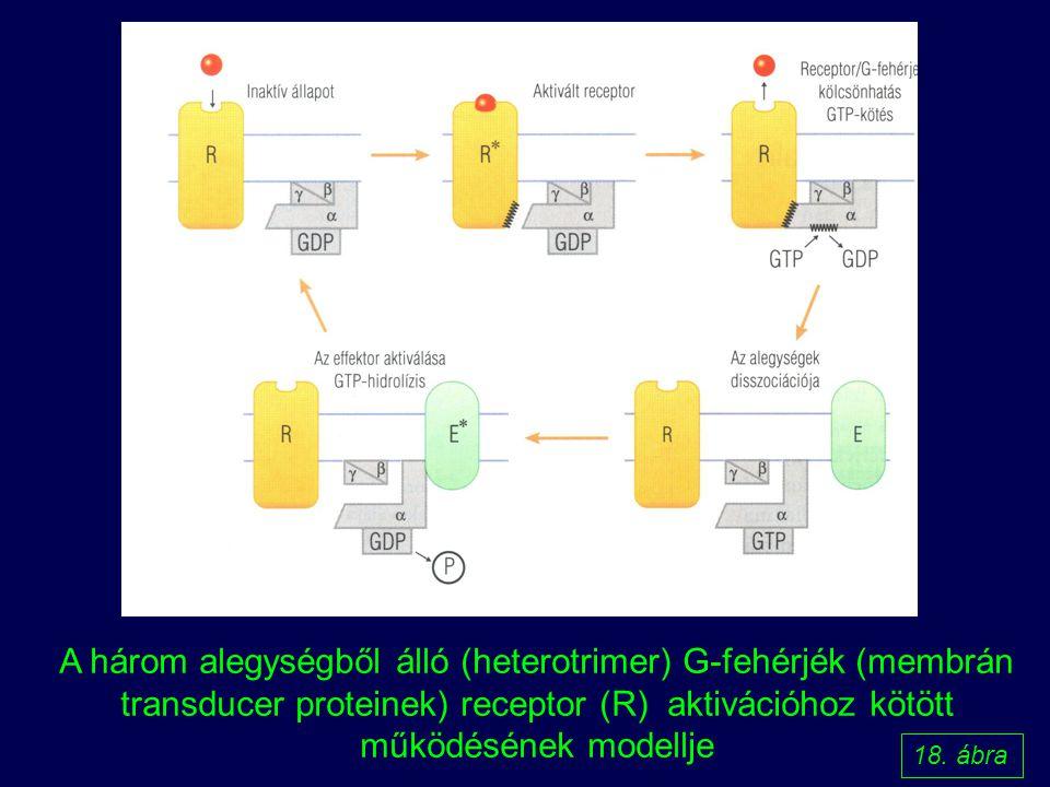 A három alegységből álló (heterotrimer) G-fehérjék (membrán transducer proteinek) receptor (R) aktivációhoz kötött működésének modellje