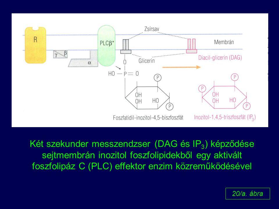 foszfolipáz C (PLC) effektor enzim közreműködésével