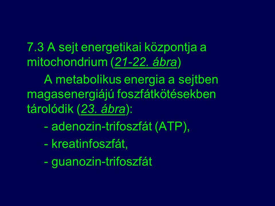 7.3 A sejt energetikai központja a mitochondrium (21-22. ábra)