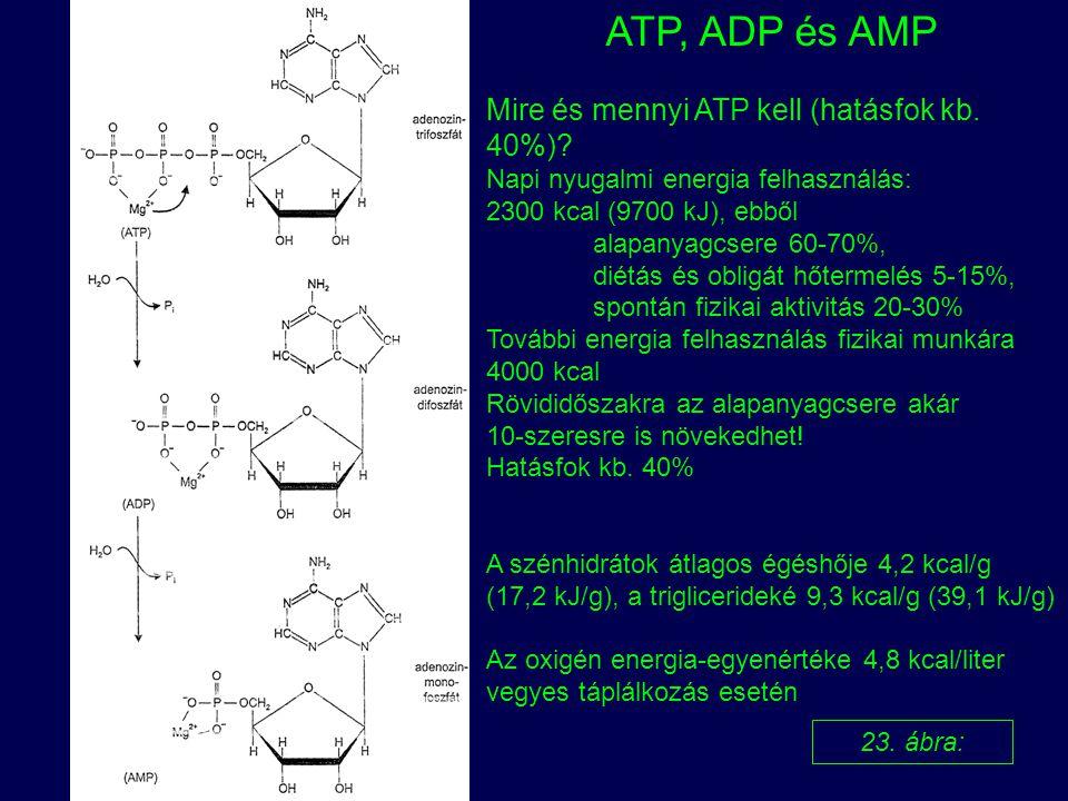 ATP, ADP és AMP Mire és mennyi ATP kell (hatásfok kb. 40%)