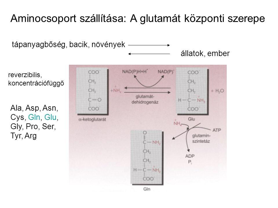 Aminocsoport szállítása: A glutamát központi szerepe