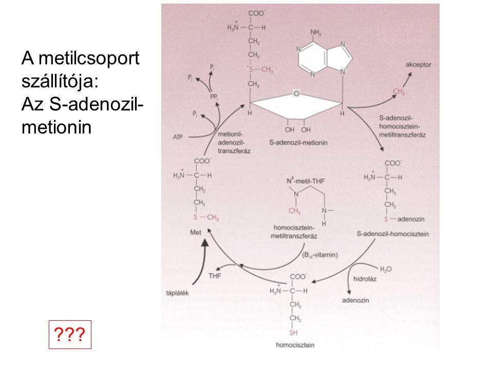 A metilcsoport szállítója: Az S-adenozil- metionin