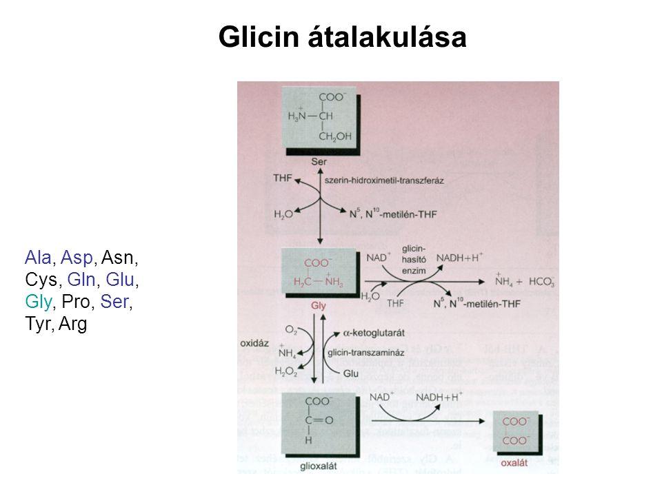 Glicin átalakulása Ala, Asp, Asn, Cys, Gln, Glu, Gly, Pro, Ser,