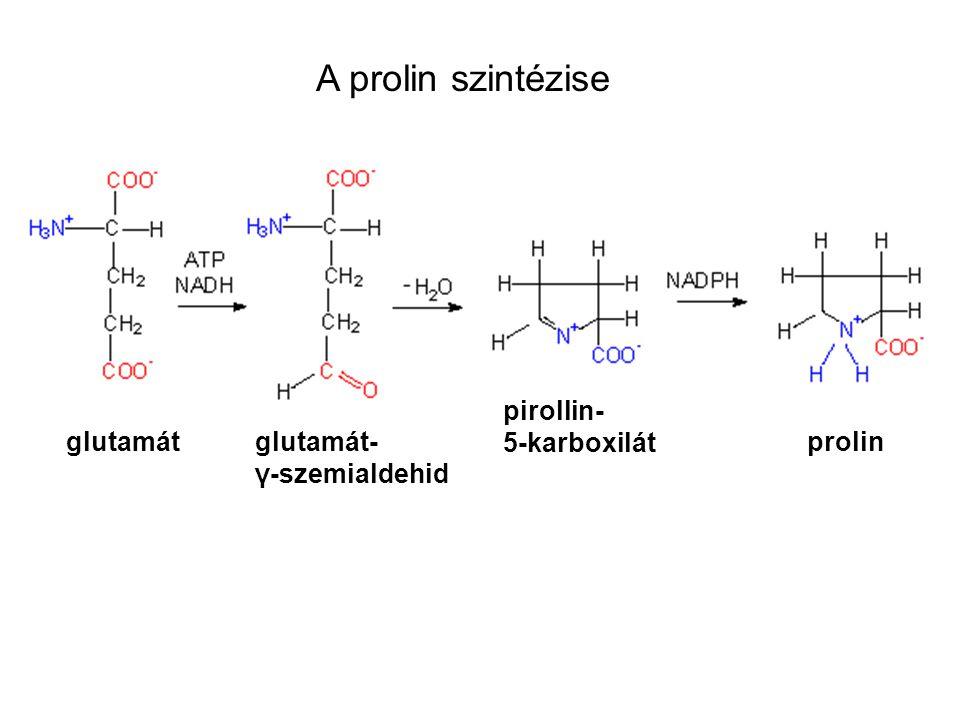 A prolin szintézise pirollin- 5-karboxilát glutamát glutamát-