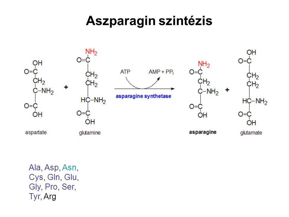 Aszparagin szintézis Ala, Asp, Asn, Cys, Gln, Glu, Gly, Pro, Ser,
