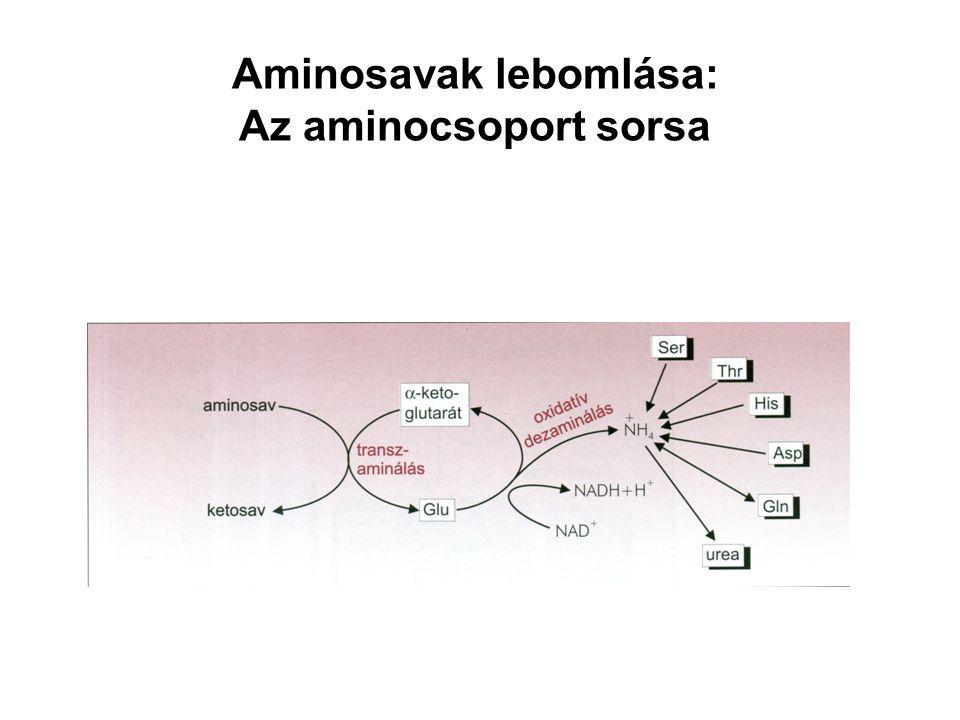 Aminosavak lebomlása: