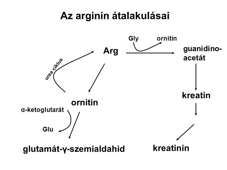 Az arginin átalakulásai