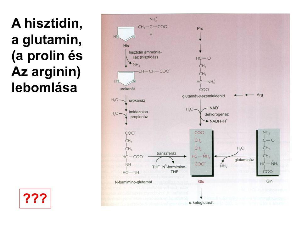 A hisztidin, a glutamin, (a prolin és Az arginin) lebomlása