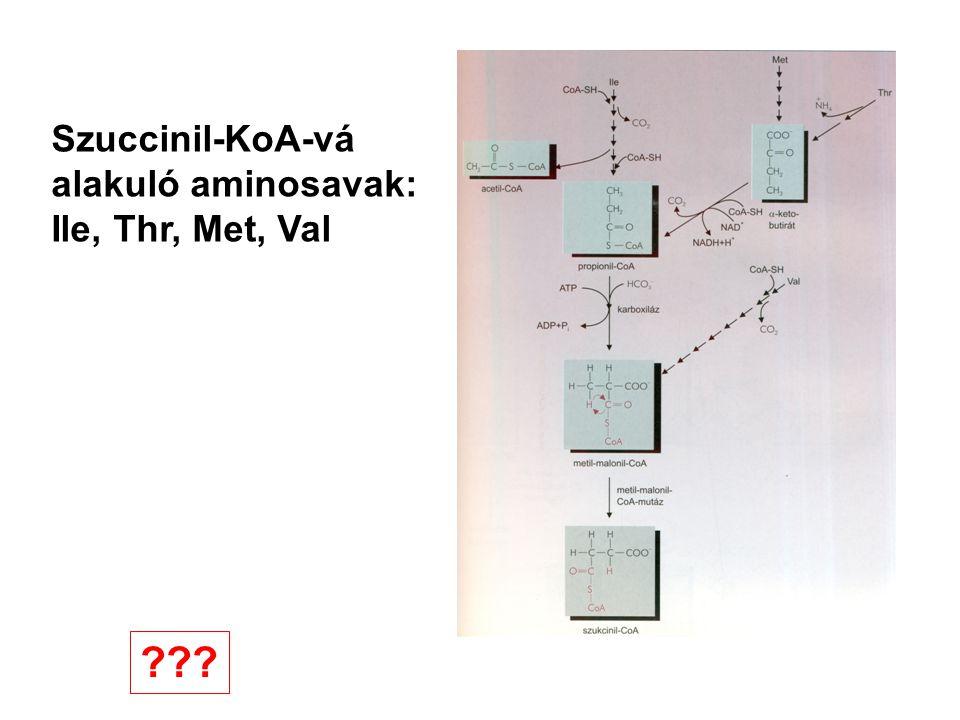 Szuccinil-KoA-vá alakuló aminosavak: Ile, Thr, Met, Val