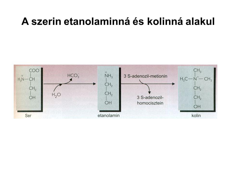 A szerin etanolaminná és kolinná alakul