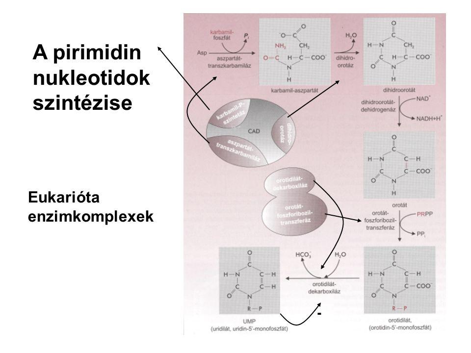 - A pirimidin nukleotidok szintézise Eukarióta enzimkomplexek